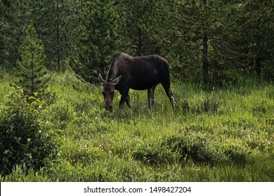 Mother moose grazing on the western side of Rocky Mountain National Park - Colorado.