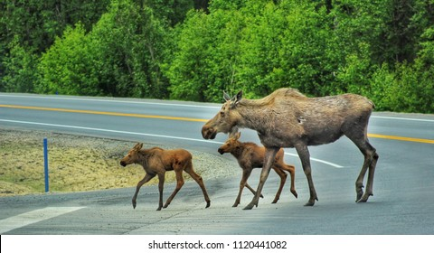 Mother Moose and Twin babies crossing hghway in Soldotna, Alaska