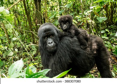 Mother Mountain Gorilla with a baby