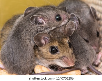 A mother mouse with her adorable gray babies climbing all over her.