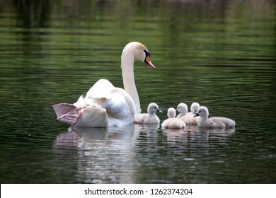 Mother Mute Swan and Cygnets