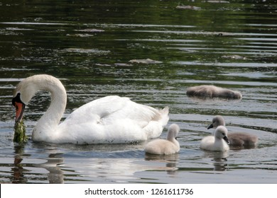 Mother Mute Swan with three live cygnets, one dead one