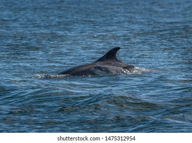 Mother And Newborn Baby Bottlenose Dolphin During A Salmon Hunting Lesson At The Moray Firth Near Inverness In Scotland