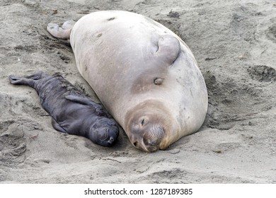 Mother and newborn baby elephant seals laying side by side. Mom knows her pup by their scent. Mother and pup stay together for about a month, the mother feeding the baby with fat-rich milk.
