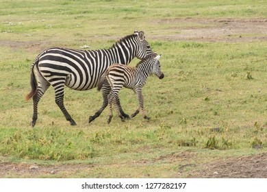 Mother and newborn colt trot away from camera, profile view, Ngorongoro Conservation Area, Tanzania