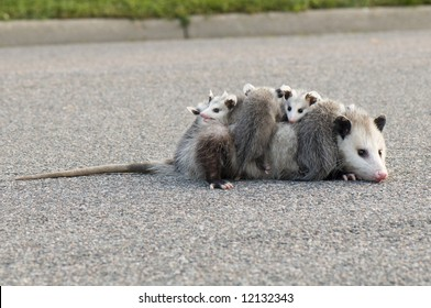 Mother Opossum carrying her babies