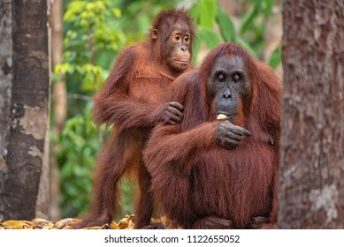 Mother orangutan (orang-utan) with   baby in his natural environment in the rainforest on Borneo (Kalimantan) island with trees and palms behind.