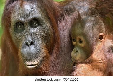 Mother orangutan and cub in a natural habitat. Bornean orangutan (Pongo  pygmaeus wurmbii) in the wild nature. Rainforest of Island Borneo. Indonesia.