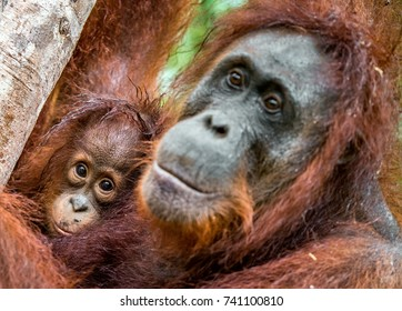 Mother orangutan and cub in a natural habitat. Bornean orangutan (Pongo  pygmaeus wurmbii) in the wild nature. Rainforest of Island Borneo. Indonesia.
