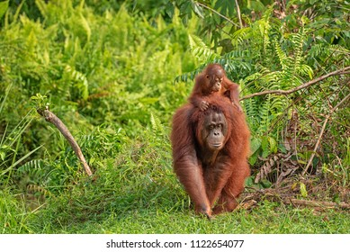 Mother orangutan (orang-utan) with funny cute baby on hers neck in theirs natural environment in the rainforest on Borneo (Kalimantan) island with trees and palms behind.