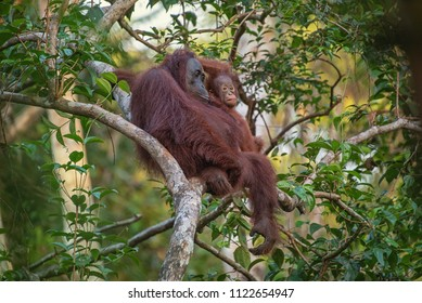 Mother orangutan (orang-utan) with funny cute playful baby in his natural environment in the rainforest on Borneo (Kalimantan) island with trees and palms behind.