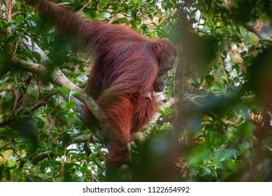 Mother orangutan (orang-utan)  in his natural environment in the rainforest on Borneo (Kalimantan) island with trees and palms behind.