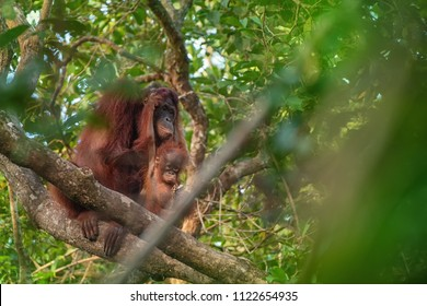 Mother orangutan (orang-utan) with playing baby in his natural environment in the rainforest on Borneo (Kalimantan) island with trees and palms behind.