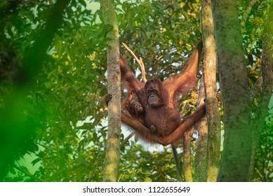 Mother orangutan (orang-utan) with very small baby in his natural environment in the rainforest on Borneo (Kalimantan) island with trees and palms behind.