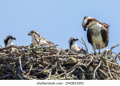 Mother Osprey Protecting Her Young Babies in Their Nest In Spring