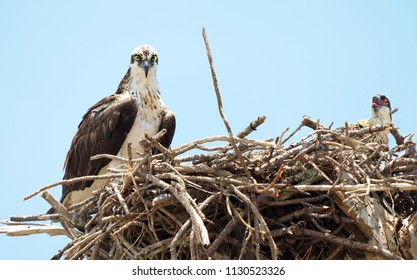 Mother Osprey and It's Single Young Chick on Their Nest