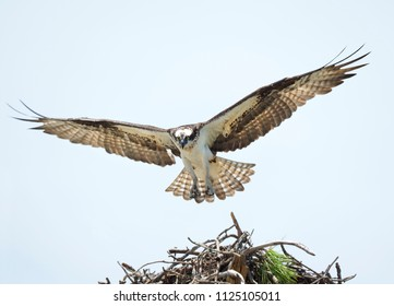 Mother Osprey With It's Wings Completely Spread Is About to Land On It's Nest