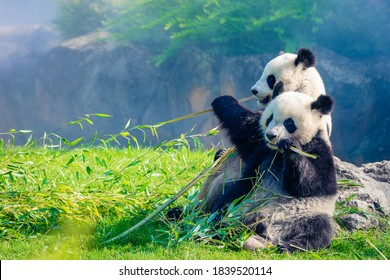 Mother Panda and her baby Panda are Snuggling and eating bamboo in the morning, in a zoo in France