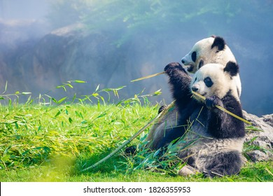 Mother Panda Yuan Zi and her baby Panda Yuan Meng are Snuggling and eating bamboo in the morning, zoo beauval, France