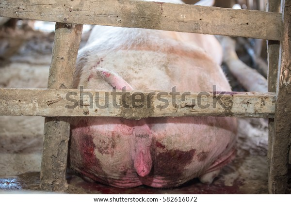 Mother pig is about to calve