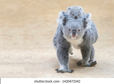 Mother to piggyback the baby koala.