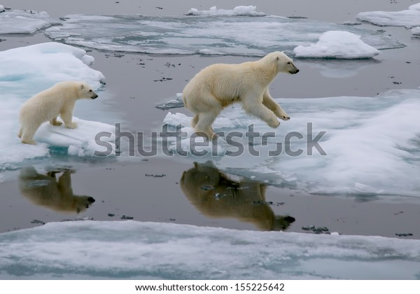 mother polar bear and cub jumping across ice floe in arctic ocean north of svalbard norway