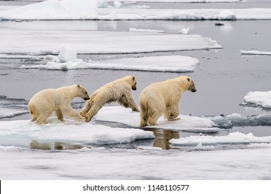 mother polar bear and cubs jumping across ice floes in arctic ocean