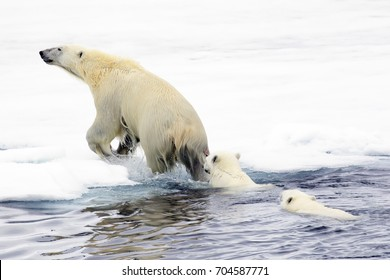 Mother Polar Bear leading her cubs out of the water