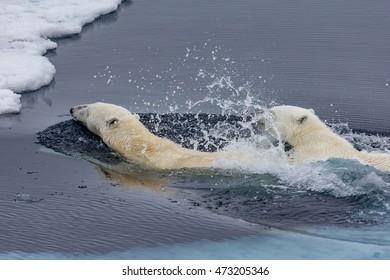 Mother polar bear teaching her cub to swim