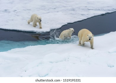 Mother polar bear (Ursus maritimus) with two cubs swimming and jumping over an open ice floe, Spitsbergen Island, Svalbard archipelago, Norway, Europe