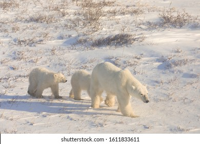 A mother polar bear walks with her two cubs in the wild in Churchill, Manitoba Canada.  Adventure trips to view these animals are very popular vacation options.