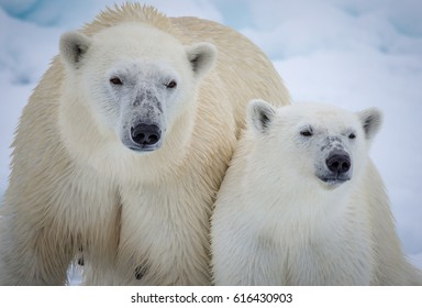 Mother polar bear with year old cub in Arctic
