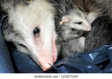 A mother possum and baby snuggle in a bin before being rescued.