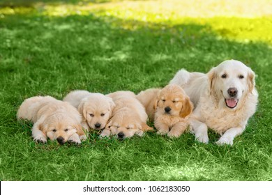 Mother and its pups are laying on grass. Portrait of beautiful and cute golden retriever dogs on green background.