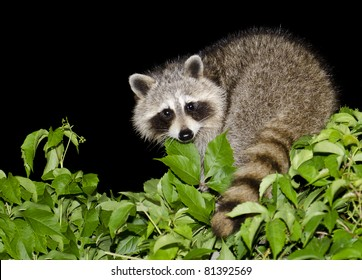 A mother raccoon looking for food at night.