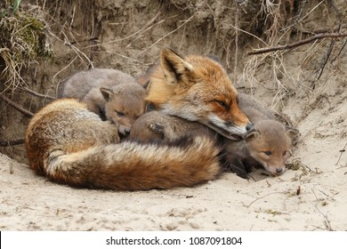 Mother red fox and her newborn red fox cubs