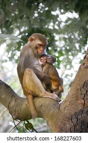 Mother Rhesus macaque with sucking baby, Specie macaca mulata, in Nepal