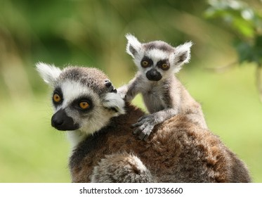 47b294321a A mother Ring-Tailed Lemur with her babies