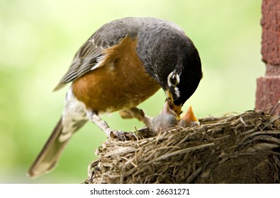 """Mother Robin feeding her babies worms, copy space """"selective focus"""""""
