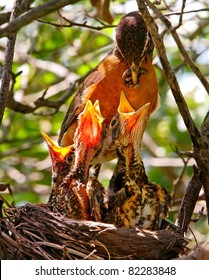 Mother Robin Feeding Worm To Babies In Nest
