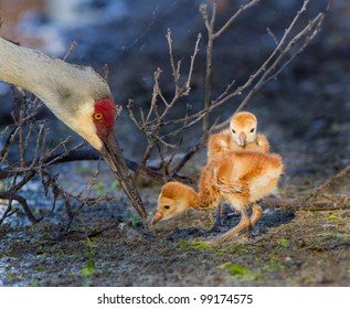 Mother sandhill crane feeds her days old young