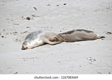 the mother sea lion is feeding her pup.  The mother rests while the pup drinks.