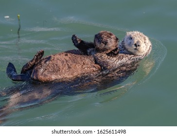 Mother sea otter with pup on her belly
