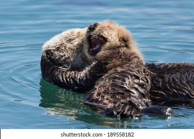 Mother Sea Otter and Yawning Baby
