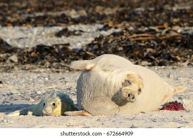 Mother seal with newborn seal cub
