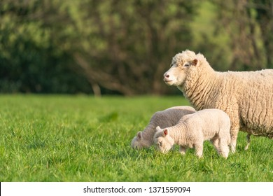 Mother sheep with baby lambs in a field in Spring.
