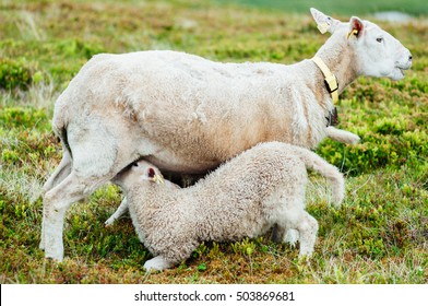 Mother sheep breastfeeding her little lamb, Norway