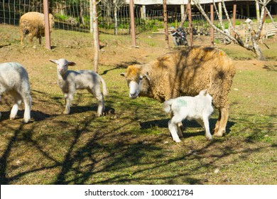 mother sheep feeding her lamb in the flock of white sheep grazing