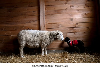 A mother sheep and her lamb in a barn in winter