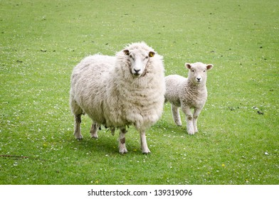 A mother sheep with her lamb in a field